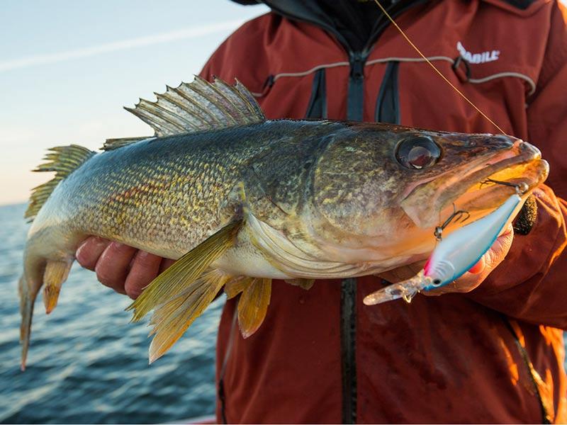 Lake Lanier Walleye Spring Bite 2014